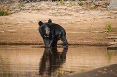 Pequeño oso cerca del lago Foto de archivo