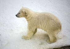 Pequeño oso polar Fotos de archivo