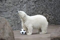 Pequeño oso polar blanco Fotografía de archivo