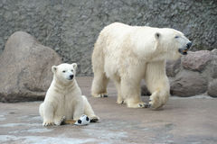 Pequeño oso polar blanco con la bola fotos de archivo