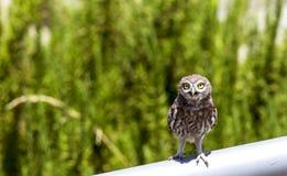 Pequeño Owl Amazed Imagenes de archivo