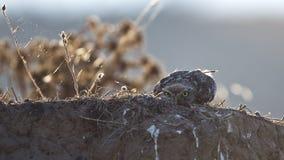 Pequeño Owl Hiding fotos de archivo