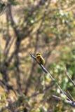 Pequeño pájaro Abeja-comedor en la rama Masai Mara, Kenia Foto de archivo libre de regalías