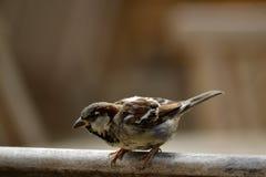 Pequeño pájaro alrededor al despegue Fotografía de archivo