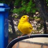 Pequeño pájaro amarillo Imagenes de archivo