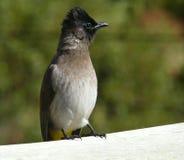 Pequeño pájaro: Bulbul Black-eyed imagenes de archivo