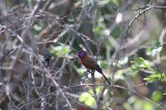 Pequeño pájaro colorido fotografía de archivo