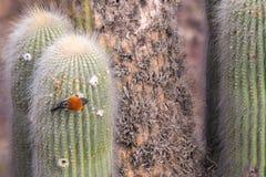 Pequeño pájaro colorido que se sienta en un cactus imágenes de archivo libres de regalías