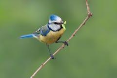 Pequeño pájaro con la oruga Fotos de archivo
