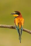 Pequeño pájaro con un plumaje agradable Fotografía de archivo libre de regalías