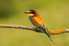 Pequeño pájaro con un plumaje agradable Fotografía de archivo