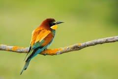 Pequeño pájaro con un plumaje agradable Imagen de archivo libre de regalías