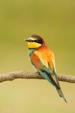 Pequeño pájaro con un plumaje agradable Imágenes de archivo libres de regalías