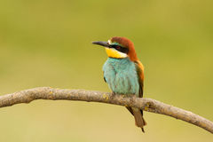 Pequeño pájaro con un plumaje agradable Foto de archivo libre de regalías