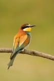 Pequeño pájaro con un plumaje agradable Fotos de archivo