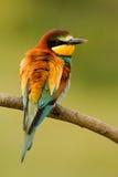 Pequeño pájaro con un plumaje agradable Foto de archivo