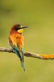 Pequeño pájaro con un plumaje agradable Imagenes de archivo