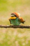 Pequeño pájaro con un plumaje agradable Fotos de archivo libres de regalías