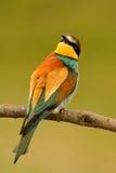 Pequeño pájaro con un plumaje agradable Imagen de archivo