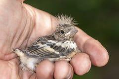 Pequeño pájaro de bebé Fotografía de archivo libre de regalías