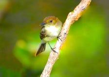 Pequeño pájaro de la canción que se aferra en la rama Foto de archivo libre de regalías
