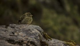 Pequeño pájaro de la montaña witting en una roca fotografía de archivo
