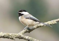 Pequeño pájaro del Chickadee Fotografía de archivo libre de regalías