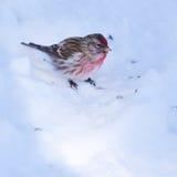 Flammea común del Carduelis del redpoll en nieve del invierno imagen de archivo