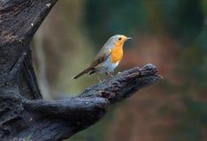 Pequeño pájaro del petirrojo que se sienta en un árbol con un fondo oscuro imagen de archivo