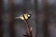 Pequeño pájaro del tit en la ramificación de árbol lista para volar Fotos de archivo