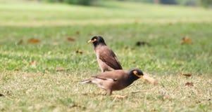 Pequeño pájaro dos en el césped verde Foto de archivo