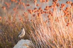 Pequeño pájaro en Joshua Tree Imagen de archivo