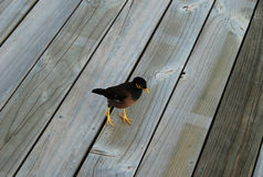 Pequeño pájaro en piso de madera Foto de archivo libre de regalías
