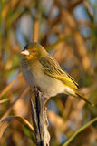 Pequeño pájaro en sol de la madrugada en rama Fotos de archivo libres de regalías
