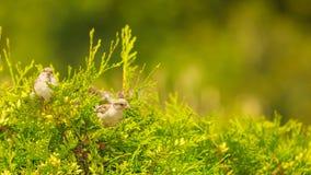 Pequeño pájaro en thuja verde Imagen de archivo
