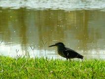 Pequeño pájaro en una orilla del lago Imagen de archivo