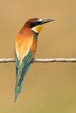 Pequeño pájaro encaramado con un plumaje agradable Imagen de archivo