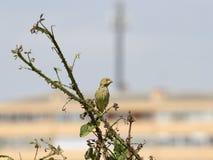 Pequeño pájaro encaramado en los arbustos Fotografía de archivo libre de regalías