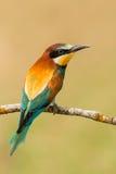 Pequeño pájaro encaramado en una rama Imagen de archivo libre de regalías