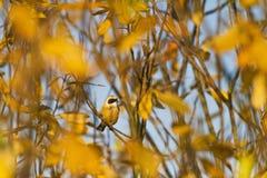 Pequeño pájaro entre las hojas de otoño amarillas Imagenes de archivo