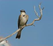 Pequeño pájaro gris en la ramificación Imagen de archivo
