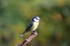 Pequeño pájaro lindo Fotografía de archivo libre de regalías