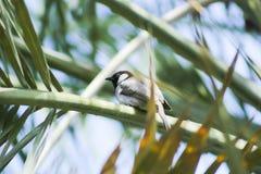 Pequeño pájaro local en Bahrein Imagen de archivo