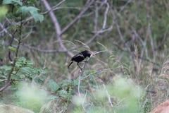Pequeño pájaro negro en el tronco, pájaros coloreados imagen de archivo