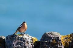 Pequeño pájaro que goza del sol en una pared de piedra Imagen de archivo