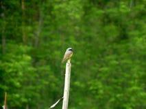 Pequeño pájaro Redstart común que se sienta encima de poste foto de archivo libre de regalías