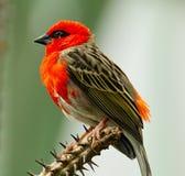 Pequeño pájaro rojo Fotografía de archivo