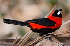 Pequeño pájaro tropical colorido en una ramificación Fotografía de archivo libre de regalías