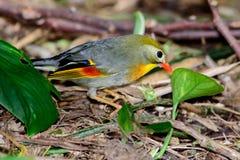 pequeño pájaro tropical Rojo-cargado en cuenta del leiothrix (lutea de Leiothrix) Imagen de archivo