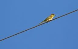 Pequeño pájaro verde del Abeja-comedor en encaramarse amarillo en el cable de acero, T Fotos de archivo
